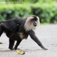 A date with Lion- tailed Macaques I have been longing to renew my acquaintance with the Lion tailed macaques for some time. However, due to work pressure I was postponing my visits. Finally, I could...