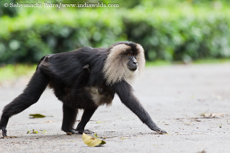 A lion tailed macaque mother carrying her kid and crosses a road