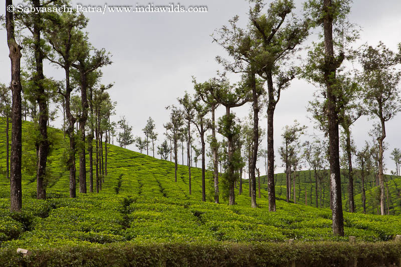 Tea plantation in Valparai
