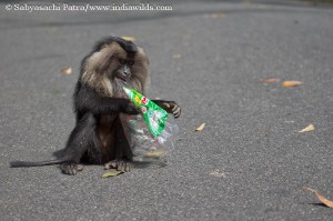 A Lion-tailed Macaque chewing a polythene bag
