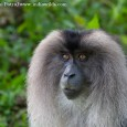 A Call in the Rainforest The Western Ghats due to its rich biodiversity had caught my imagination since a long time. And I had been intrigued by the Lion-tailed macaques, not because they are endangered,...