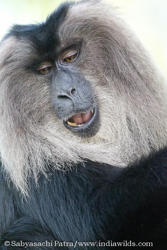 A Lion-tailed Macaque (Macaca silenus)