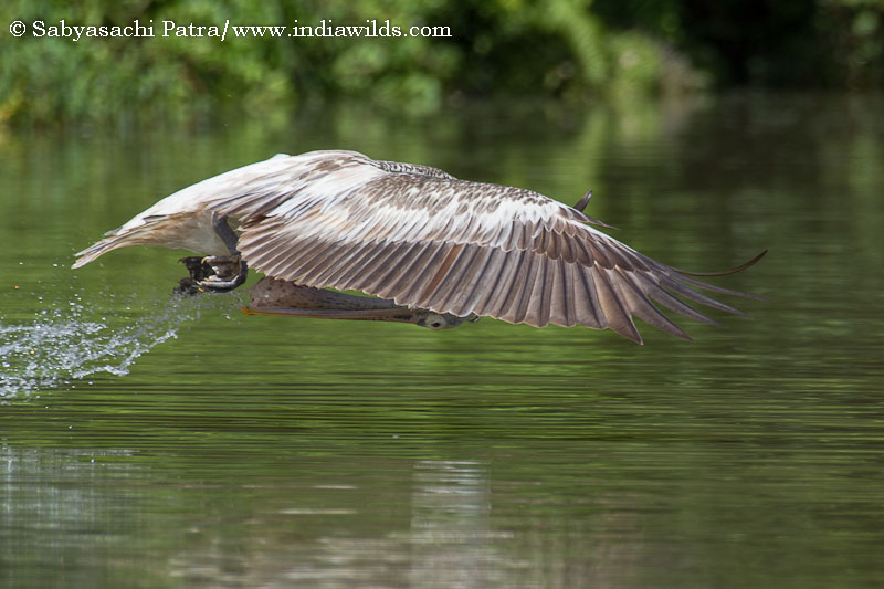 Bird Photography - Pelican in Ranganathittu Bird Sanctuary