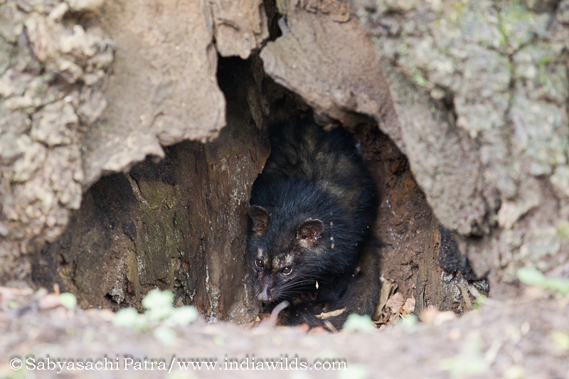 Endangered - Palm Civet in BR Hills