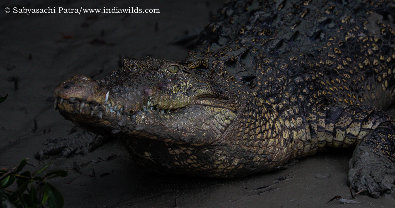 Sundarban Crocodiles crocodile frame from 4K video