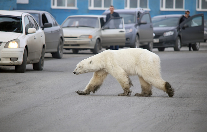 The polar bear was filmed by teenagers who said they stood some 40 or 50 metres away, and it showed no sign of aggression. Picture- Zapolyarnaya Pravda
