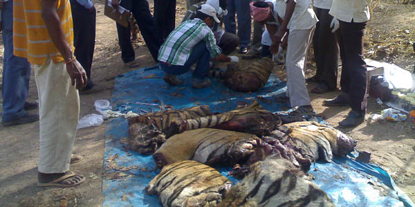 Tiger hacked into pieces by poachers