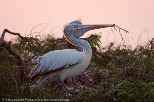 A Pelican builds its nest in Telineelapuram