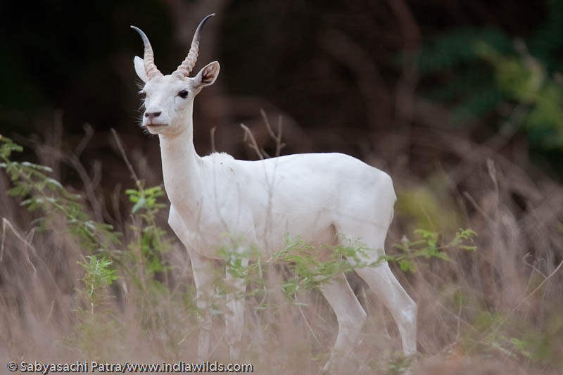 A rare wild albino black buck pauses for a moment from feeding, IIT Campus, India.