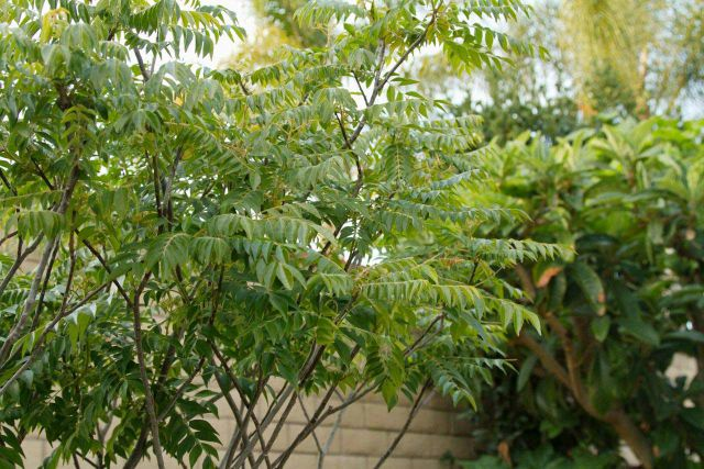 Native Curry Leaves plant