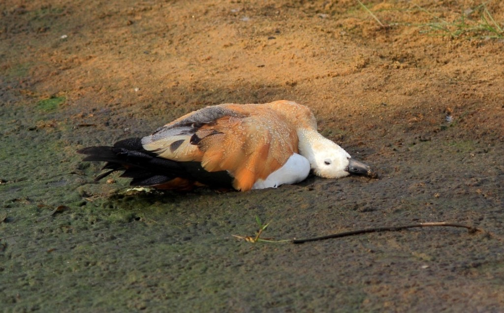 Duck killed for lunch by the workers