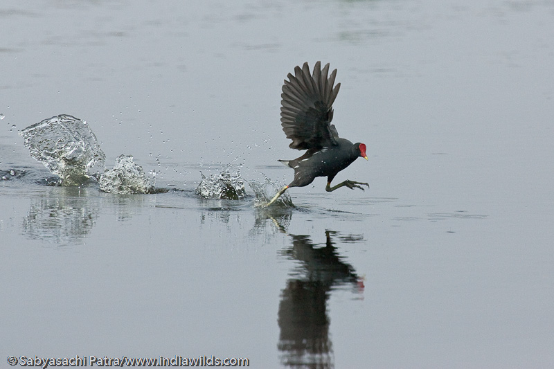 Moorhen running on the water surface