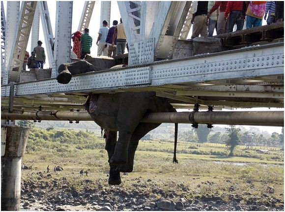 Elephant dragged 400 meters to the middle of a bridge