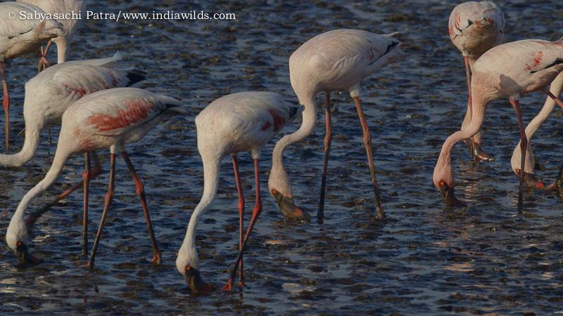 Flamingos feeding in Thane Creek