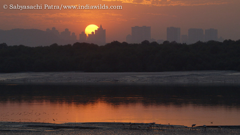 Flamingos feeding in the mudflats in Thane Creek during sunset