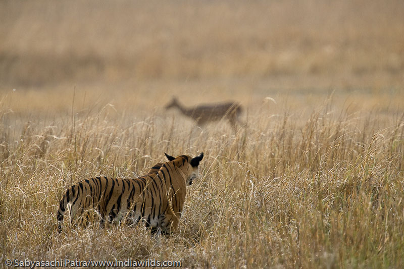A wild Indian Tiger watching a deer in a grassland