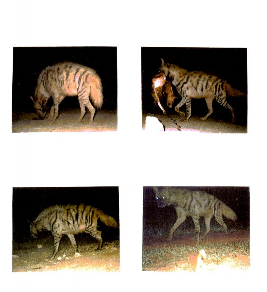 Camera Trap Pictures of Striped Hyena