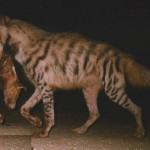 Hyaena carrying a carcass