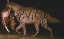 Wild India: Ecology of Striped Hyena inSigur Plateau Introduction: My interest to study wildlife started during my school days. I was born in a village that had a wide variety of birds and mammals that...