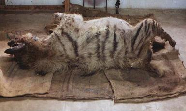 Dead Hyaena After Feeding a Poisoned Carcass