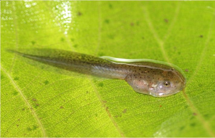 Developing tadpole without limbs