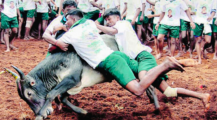 3 men on a bull in a jallikattu event in Tamul Nadu