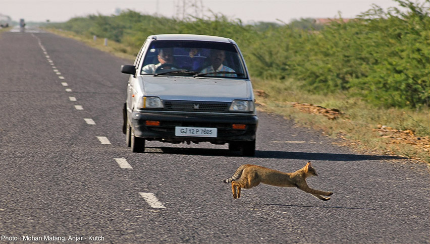 Jungle cat trying to evade a speeding car in Kutch