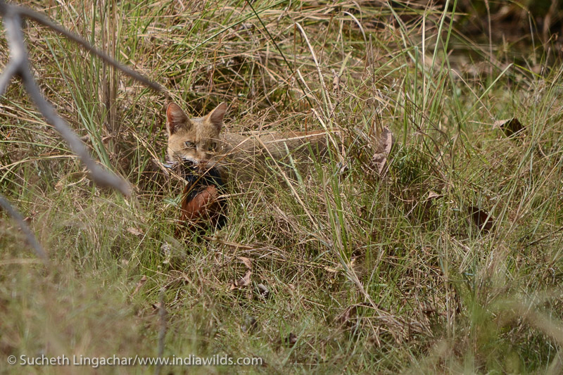 Jungle Cat with coucal kill in Tadoba