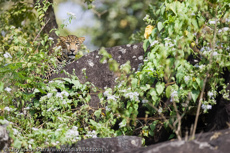 A wild Leopard watches from top of a rock surrounded by Lantana