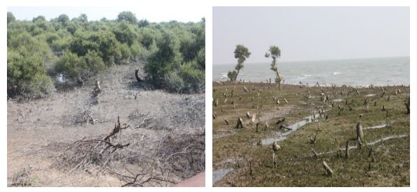 Mangroves destroyed