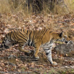 A wild tiger stalking its prey in Bandhavgarh