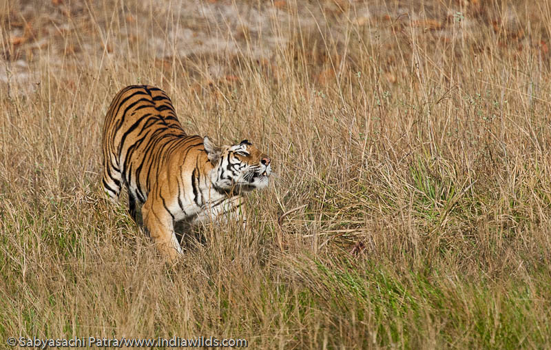 A wild Tigress stretches herself near a water hole in Bandhavgarh National Park, India