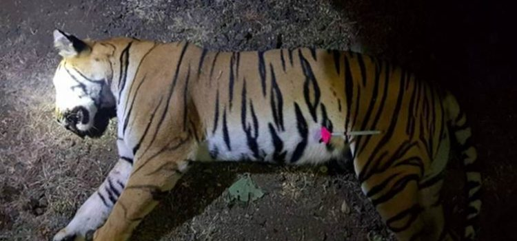 Tigress Avni was killed illegally by the orders of S. Mungatiwar, forest minister, Maharashtra. #AvniAvengers