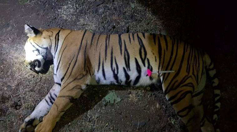 Tigress Avni killed and then a dart pinched on her body