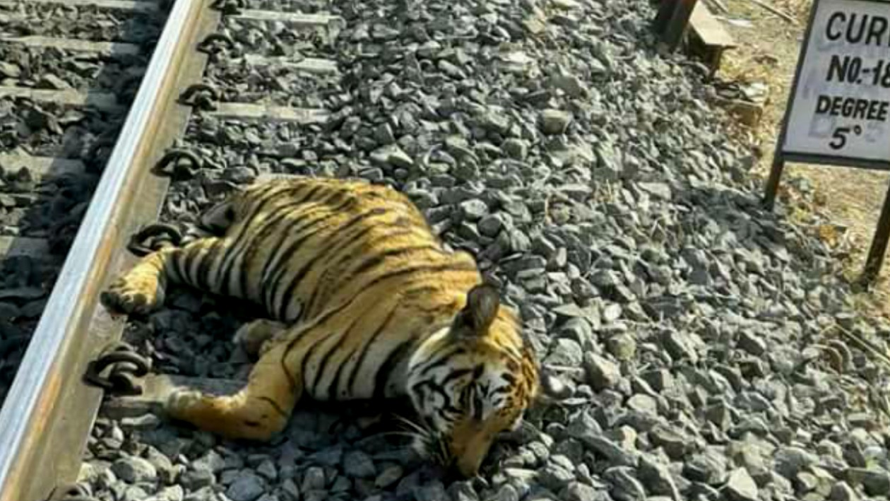 Tigress killed near Ratapani San
