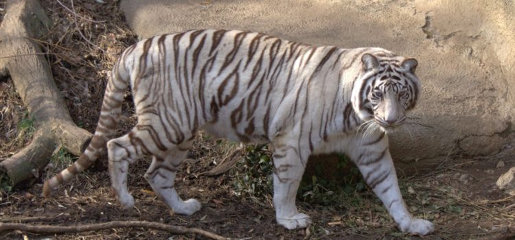 IndiaWilds Newsletter Vol. 11 Issue XII ISSN 2394 – 6946 Download the full Newsletter PDF by clicking the below button – White Tiger introduction: Converting Forests into Zoos India's wilderness and wildlife is under tremendous […]