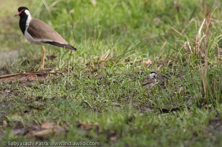 A Red Wattled Lapwing with chick in Corbett Tiger Reserve. The lapwing looks back to see that its chick moves into the safety of the bushes.