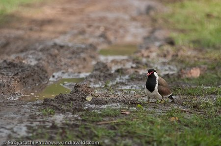 A Red Wattled Lapwing near a dirt track with chicks hidden under her feathers in Corbett Tiger Reserve, India