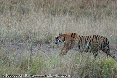 Tigress defeated in its bid to snatch a kill from Jhurjhura tigress, moans and walks away in Bandhavgarh