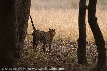 A wild tigress scent marking in Bandhavgarh Tiger Reserve, India