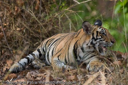 A tiger cub resting after a meal in Bandhavgarh Tiger Reserve, India