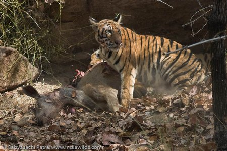 Tigress with cub on a Sambar Kill in Bandhavgarh Tiger Reserve