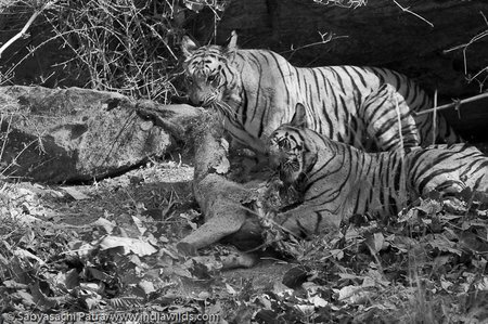 Tigress and cub in a Tug of war over a Sambar carcass