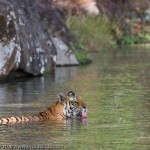 Wild tiger drinking water