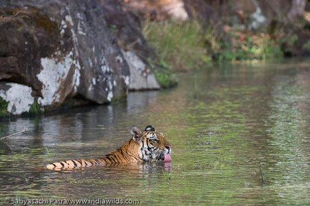 Tigress drinking water in a waterhole in Bandhavgarh Tiger Reserve, India