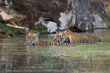 Tigress and cub in water in Bandhavgarh Tiger Reserve, India