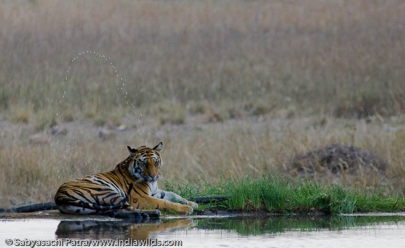 Jhurjhura tigress cools itself by splashing water