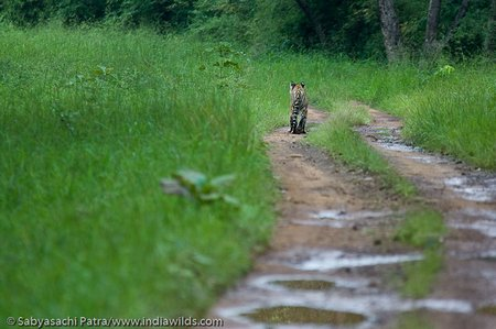 A wild bengal tiger Panthera tigris tigris cub walks along a dirt track in Tadoba Andhari Tiger Reserve, India