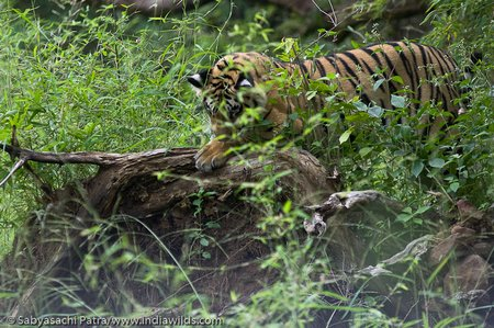 A wild bengal tiger Panthera tigris tigris cub sharpens its claws on a dead tree in Tadoba Andhari Tiger Reserve, India