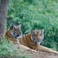 Tiger Intelligence How intelligent is the tiger? Well, we human beings think that we are the most intelligent among all the living species on earth. We take a certain amount of pride in that as...